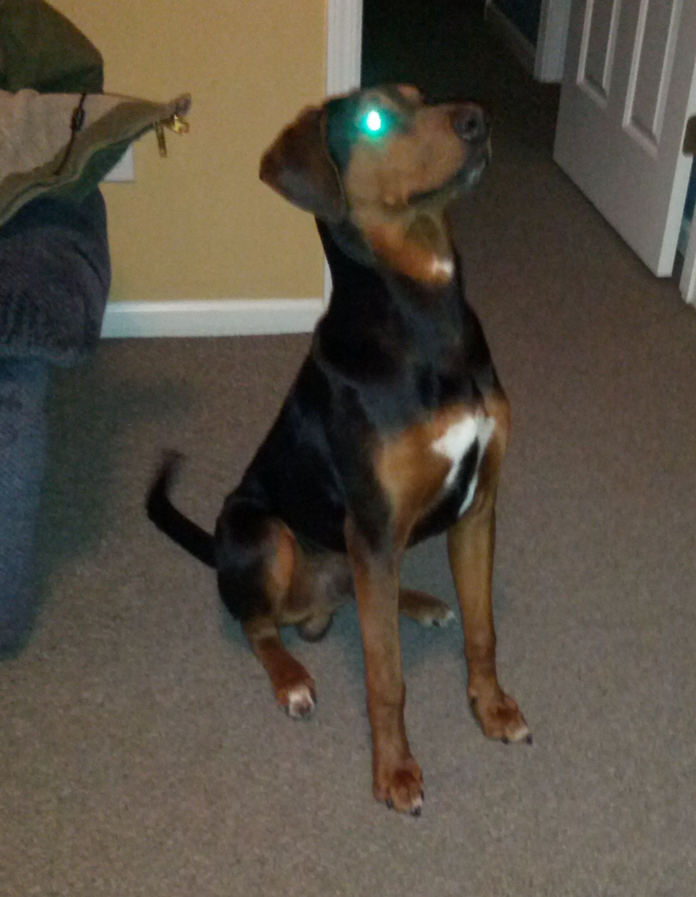 #FOUNDDOG 1-9-14 Stray#Summerville #SC Purebred Black and Tan #Coonhound Intact Male 1-3 Years Old 21-50 LBS Black & Tan White Markings Two Brown Eyes Short Hair Ears Natural Tail Natural Tongue Pink Muzzle Tan Nose Black FinderDawn Claytonmdb8888@hotmail.com USLDR