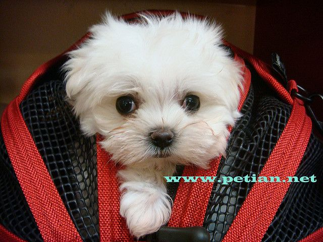 Puppies Maltese Dogs Cute Puppies Puppies