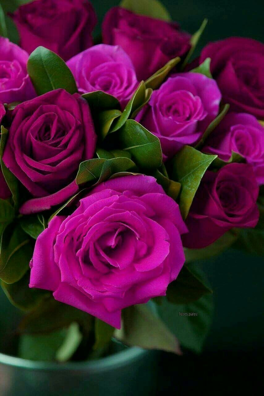 Pin By Rajai Rabbi On ورود Roses With Images Rose Buds