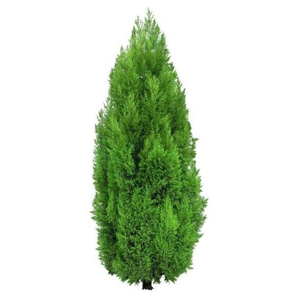tree bush diagram cypress    tree    png clipart liked on polyvore featuring    tree     cypress    tree    png clipart liked on polyvore featuring    tree