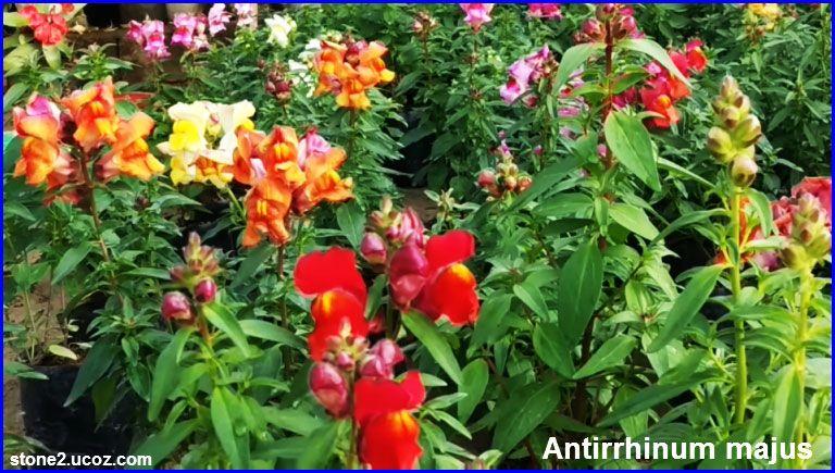 انواع زهرة الخطم او زهرة التنين Antirrhinum قوائم النبات قوائم النبات معلومان عامه معلوماتية Plants Antirrhinum Vegetables