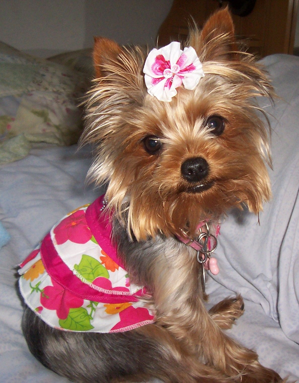 Bailey Marie A Teacup Yorkie Weighs 35 Lbs But She Thinks