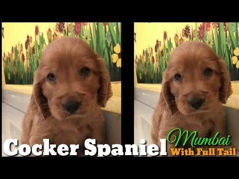 Cocker Spaniels Youtube In 2020 Cocker Spaniel Spaniel Online Album