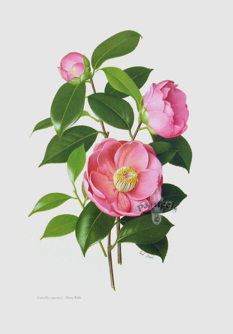 Paul Jones Camellia Prints Botanical Watercolor Botanical Painting Botanical Drawings