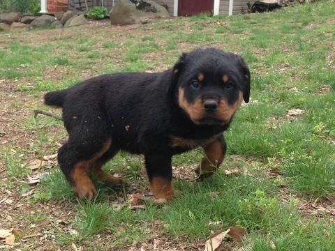 Rottweiler Puppy For Sale In Lebanon Pa Adn 29386 On Puppyfinder