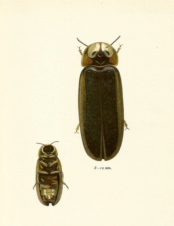 Vintage Beetle Art Firefly Beetle Vintage 1964 By Upcyclefarmer