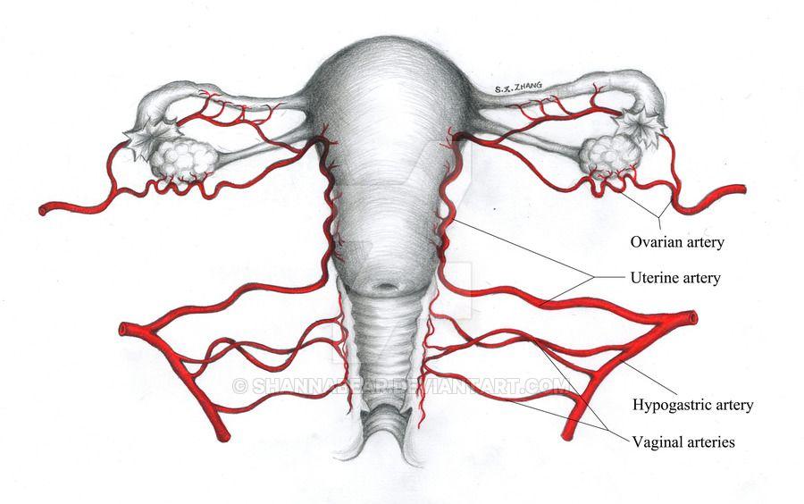 blood supply of uterus blood supply of pelvis