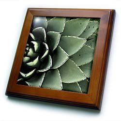 """Agave cactus succulent, Santa Fe, New Mexico - US32 JMR0454 - Julien McRoberts - 8x8 Framed Tile by 3dRose. $22.99. Cherry Finish. Keyhole in the back of frame allows for easy hanging.. Dimensions: 8"""" H x 8"""" W x 1/2"""" D. Inset high gloss 6"""" x 6"""" ceramic tile.. Solid wood frame. Agave cactus succulent, Santa Fe, New Mexico - US32 JMR0454 - Julien McRoberts Framed Tile is 8"""" x 8"""" with a 6"""" x 6"""" high gloss inset ceramic tile, surrounded by a solid wood frame with ..."""