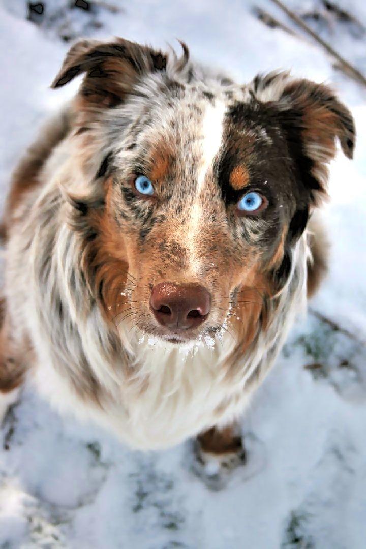 Red Merle Australian Shepherd Aussie Puppy 8 Months Gearhart