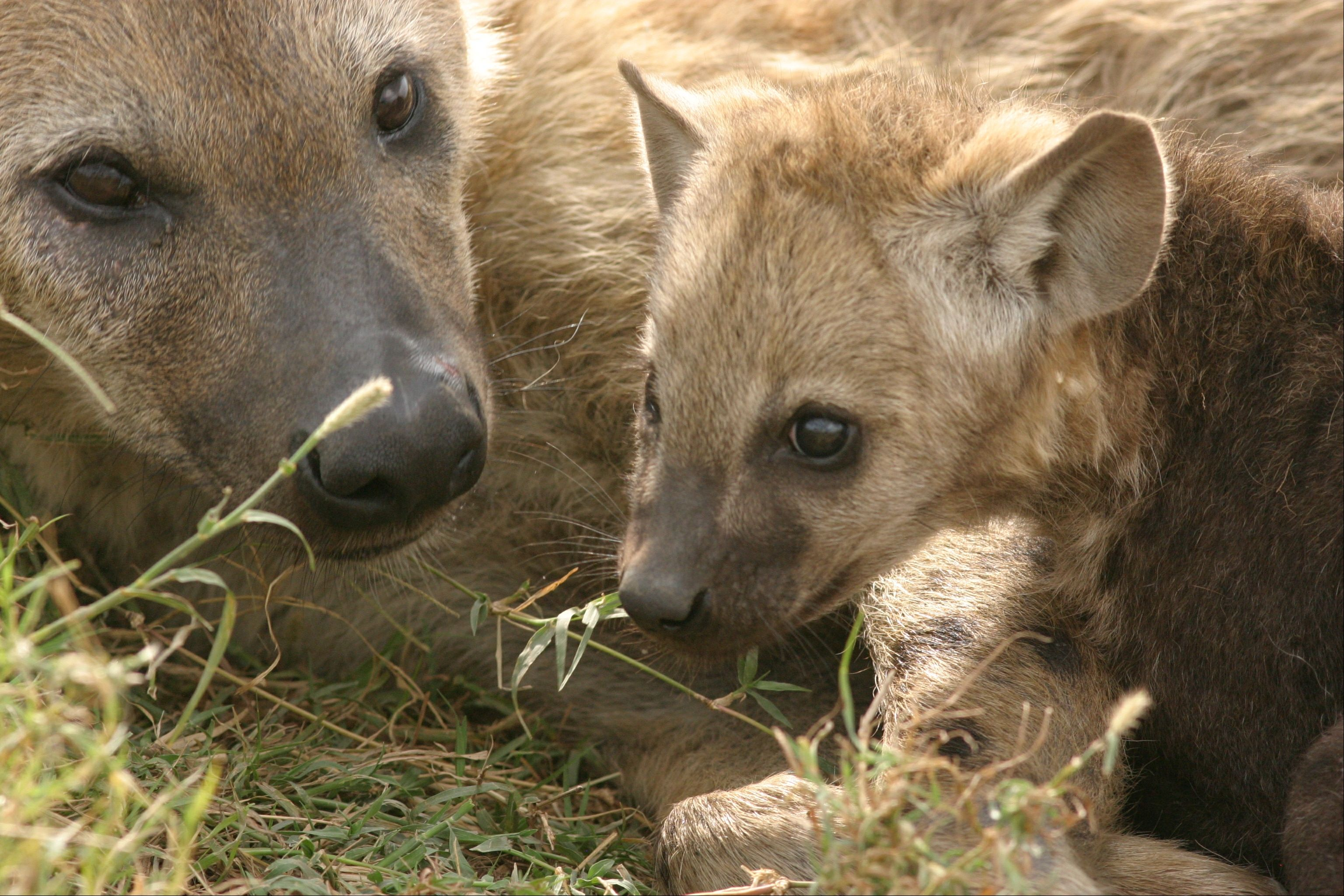Spotted hyenas live in groups called clans. Clans, which