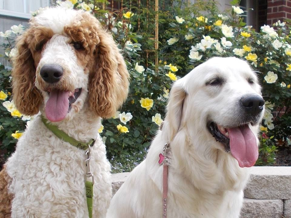 We Have F1 English Cream Goldendoodle Puppies From Our Ceasar And