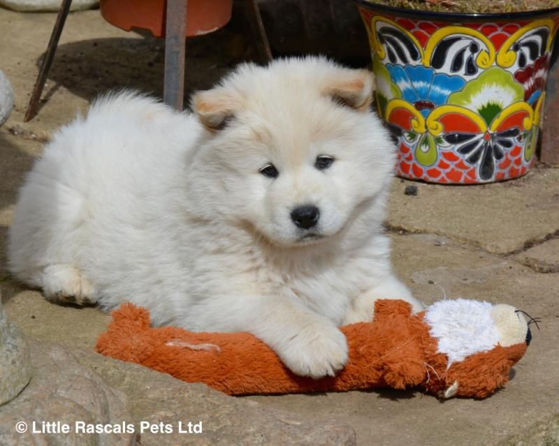Samoyed X Chow Chow Babies Designer And Cross Breed Puppies For
