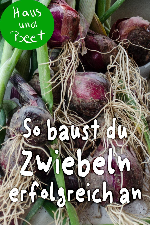 Zwiebel Anbauen Schritt Fur Schritt Anleitung Anbauen Anleitung Fur Gartengestaltungkleinergarten Schritt Growing Onions Planting Onions Garden Types