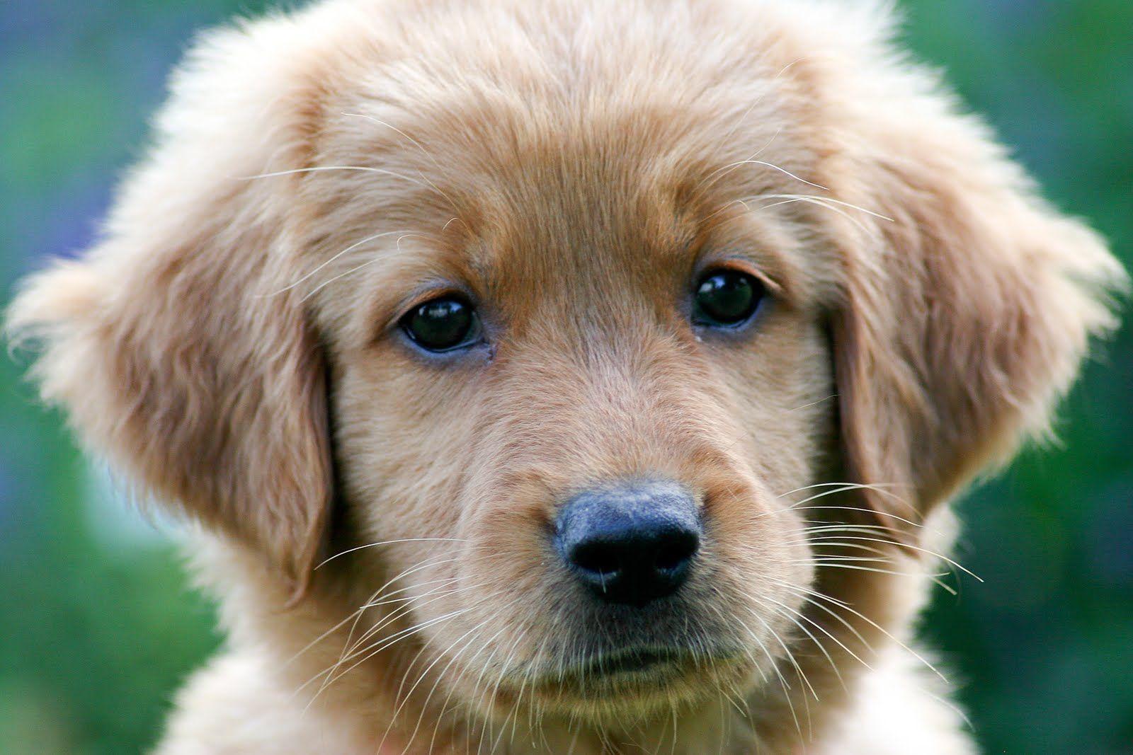 I will always have a soft spot for Labrador Retrievers