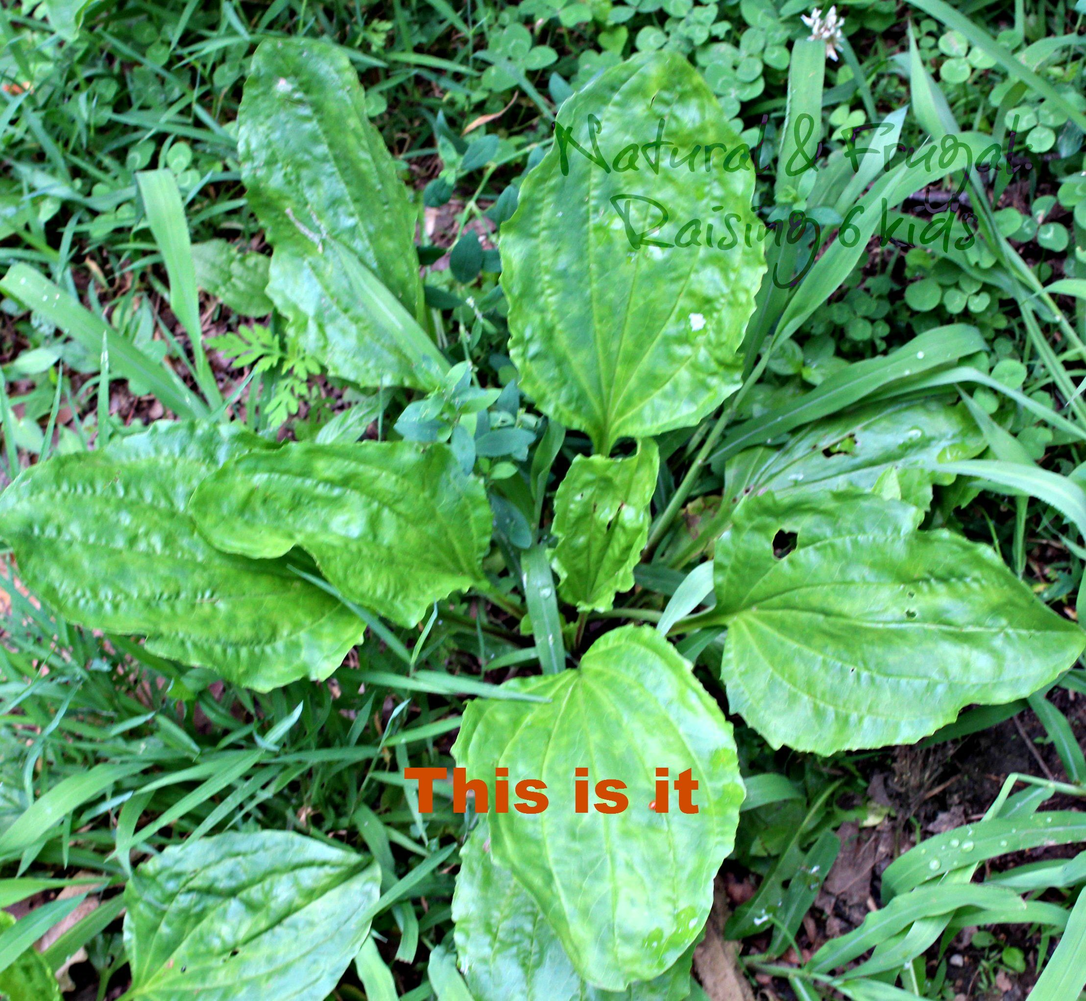 A DIY Life: Part 1- Picking Plantain