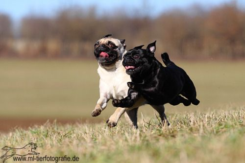 """I see this and I think """"Sound of Music: Pug Edition""""    Hmmm…I have """"Chariots of Fire"""" music in MY head."""