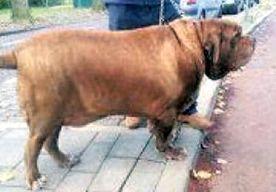 12-Apr-2013 6:17 - GEWICHT WORDT ABSURD DIKKE HOND REX FATAAL. Met het bizar hoge lichaamsgewicht van 107 kilo moet Rex wel de dikste hond zijn die ze bij de Dierenbescherming Haaglanden ooit binnen zagen…...