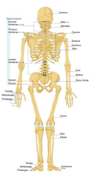Biology For Kids List Of Human Bones Kids And Parents Pinterest