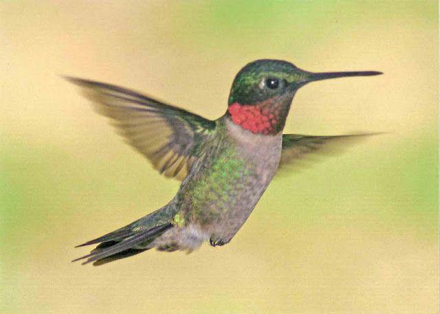 Hummingbird Facts