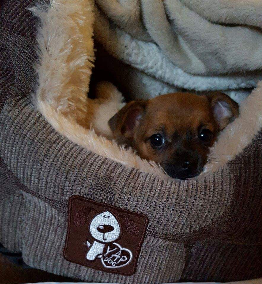 Chihuahua Chuwawa 11 Weeks Old Puppy 350 Ono England