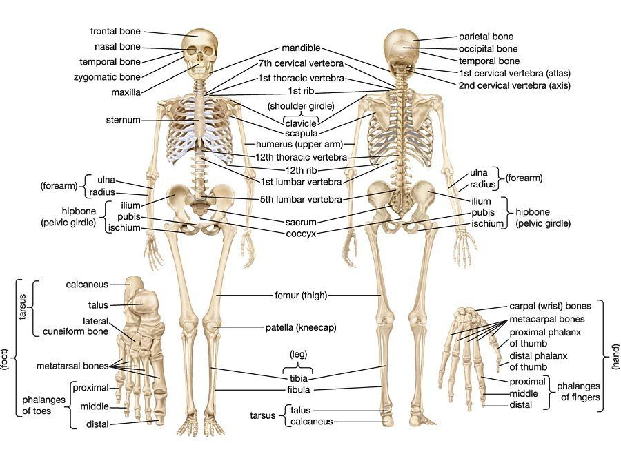Anatomyandphysiology101 The Body Has 206 Named Bones In The Human