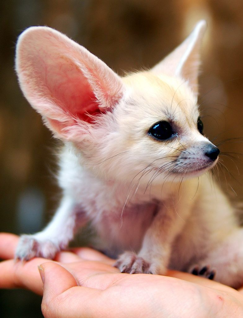 Baby inari fox for sale - This Is A Fennec Fox The Species Is Classified As Small Wild Exotic Canid By The U S Department Of Agriculture Along With Coyotes Dingoes