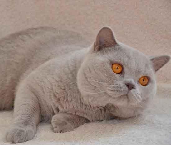 Golancat British Shorthair Cats Lilac Bsh Gatos Bonitos