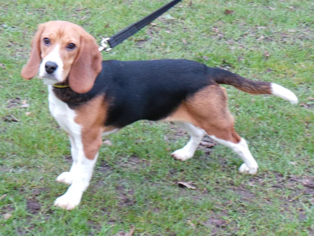 Adopt A Dog Luna Beagle Dogs Trust Dogs Dog Adoption Rehoming