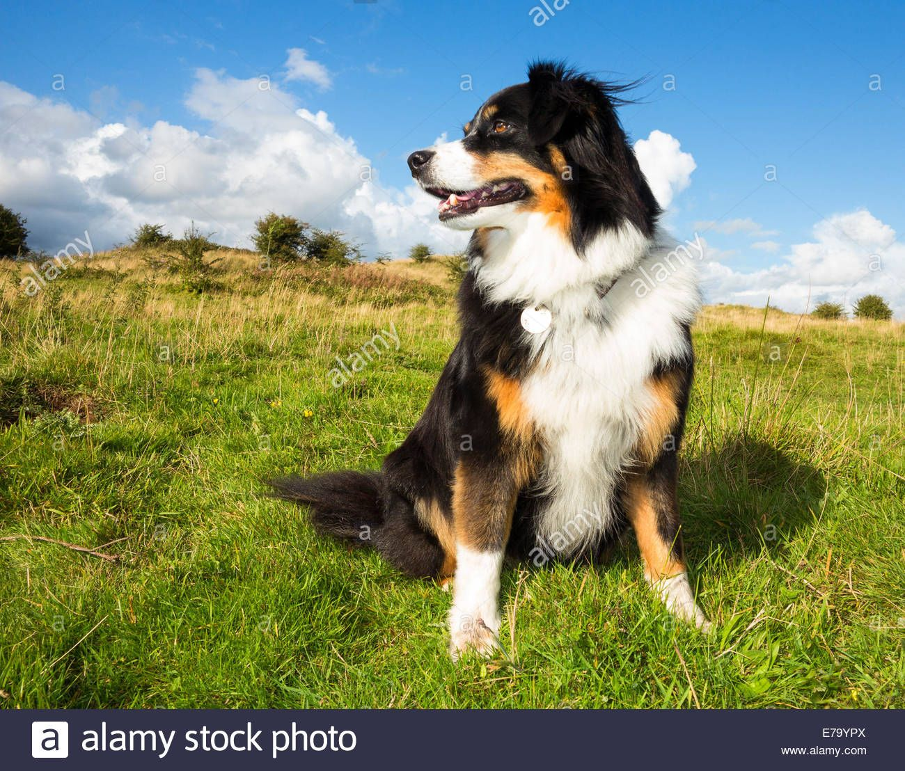 A Tri Colour Border Collie Dog On A Wind Blown Hillside In Wales E79ypx Jpg 1 300 1 108 Pixels Border Collie Dog Collie Dog Border Collie