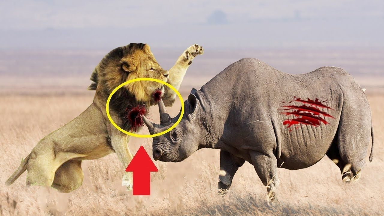 Pin by Nam Montero on Lions vs Rhino Real Fight | Wild ...