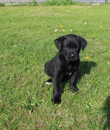 Gorgeous Boxerdor Puppy Puppies Little Pets Dogs