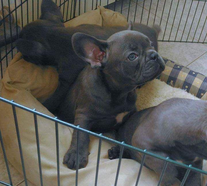 French Bulldog Puppy For Sale In Fort Pierce Fl Adn 63283 On