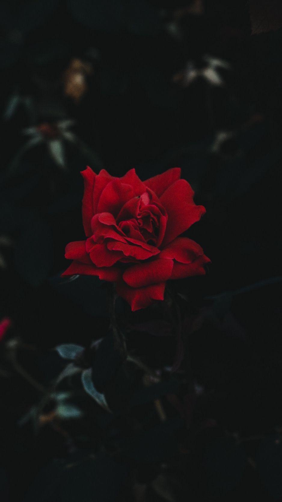 Dark Floral Iphone Wallpaper Wallpaper Iphone Roses Red Roses Wallpaper Rose Wallpaper