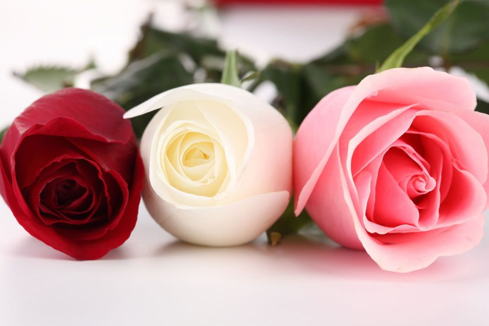 A white rosebud is symbolic of girlhood while a red rosebud is a white rosebud is symbolic of girlhood while a red rosebud is symbolic of purity mightylinksfo Images