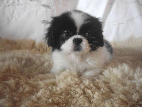 Cute Ckc Small Female Pek A Tzu Pekingese Shih Tzu Puppy