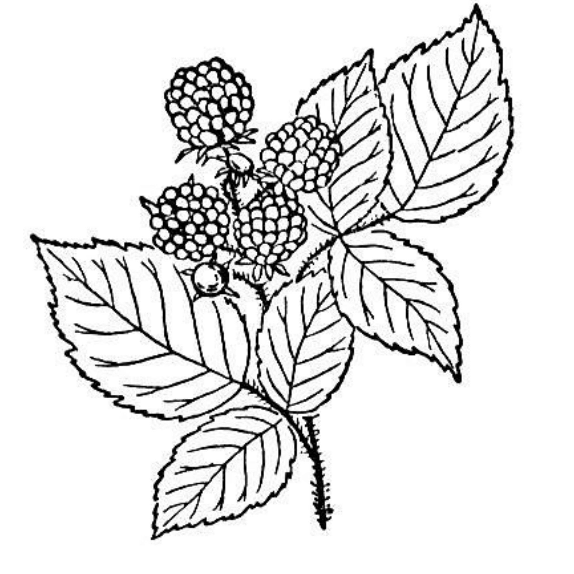 Red Raspberry Seed Oil Leaf Coloring Page Tree Coloring Page Coloring Pages