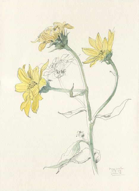 Catalina flores amarillas watercolour and pencil botanical watercolour and pencil botanical drawing of yellow flowers mightylinksfo