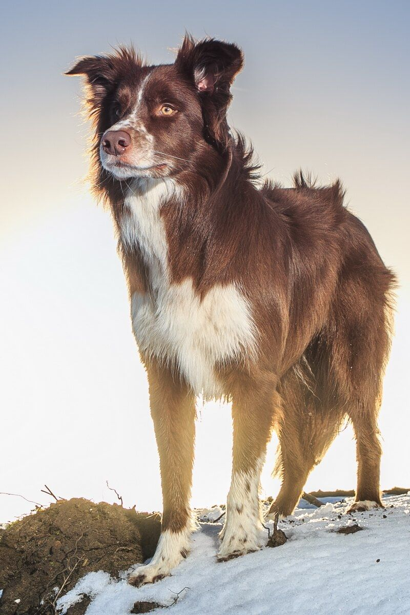 How Much Does A Border Collie Cost Puppy Price In 2020 Border Collie Collie Collie Puppies