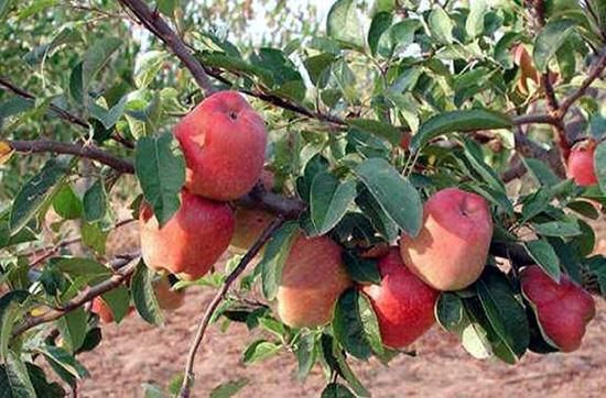 The Apple Valley Rohru Apple tree, Fruit trees, Plants