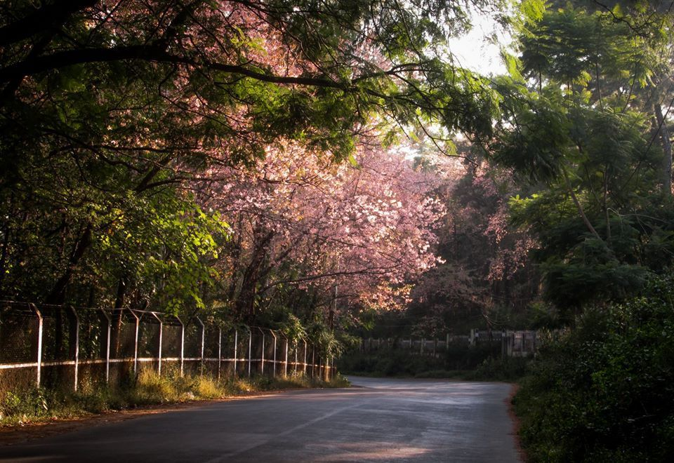 The Best Places To See Cherry Blossoms Around The World Places To See Old Trees Cherry Blossom