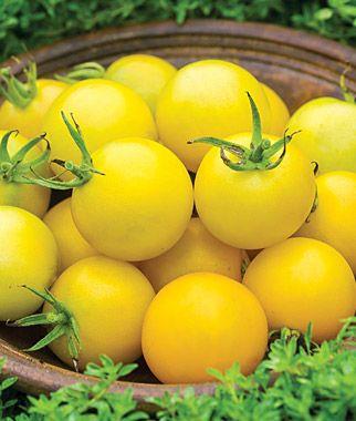 Tomato, Honey Delight Hybrid   Garden Ready Vegetable Plants At Burpee.com