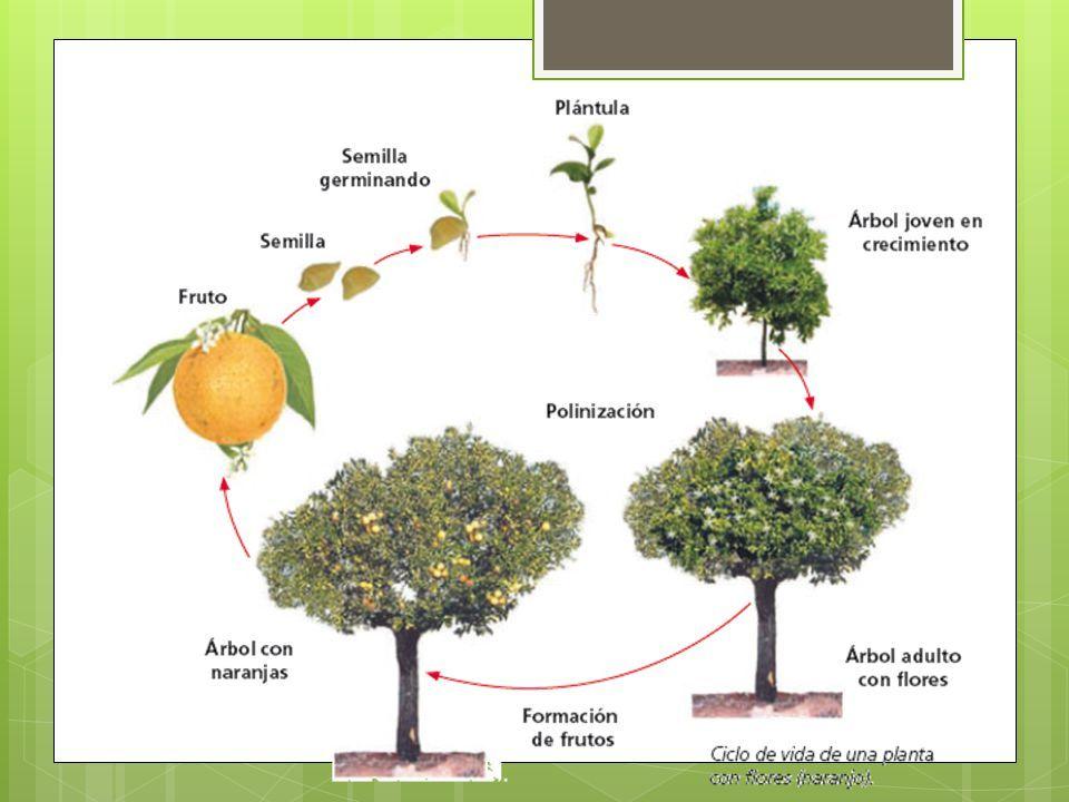 Resultado de imagen para ciclo de vida de una planta for Como crecen los arboles para ninos