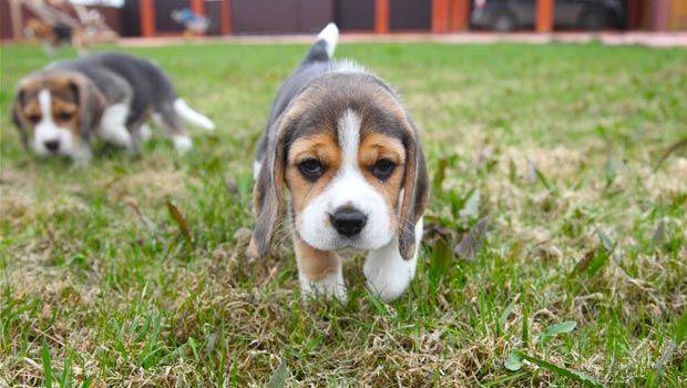 Beagle Friendly And Curious Cute Beagles Beagle Puppy