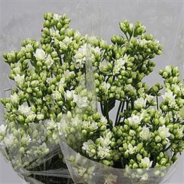 Kalanchoe white meadow 40cm is a beautiful white seasonal cut flower kalanchoe white meadow 40cm is a beautiful white seasonal cut flower wholesaled in batches of 15 stems mightylinksfo