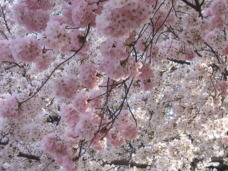 File Img 2329 Washington Dc Tidal Basin Cherry Blossoms Jpg Wikipedia Cherry Blossom Festival Cherry Blossom Season Cherry Blossom Washington Dc