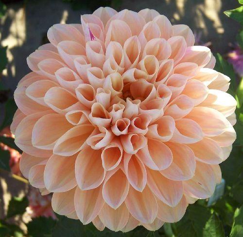 French Doll Dahlias By Flower Name Flower Farm Dahlia Flower Beautiful Flowers