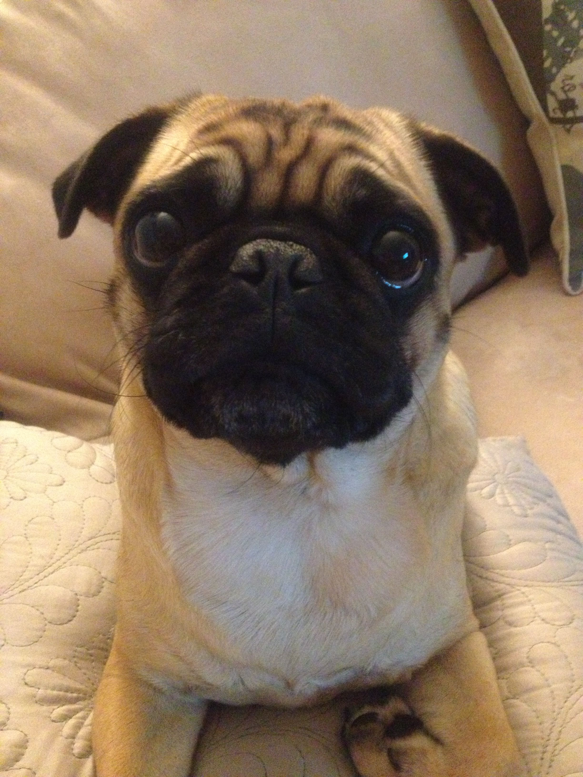 Did You Bring Anything For Me Pug Dogs Pugs Pug Mops Pets