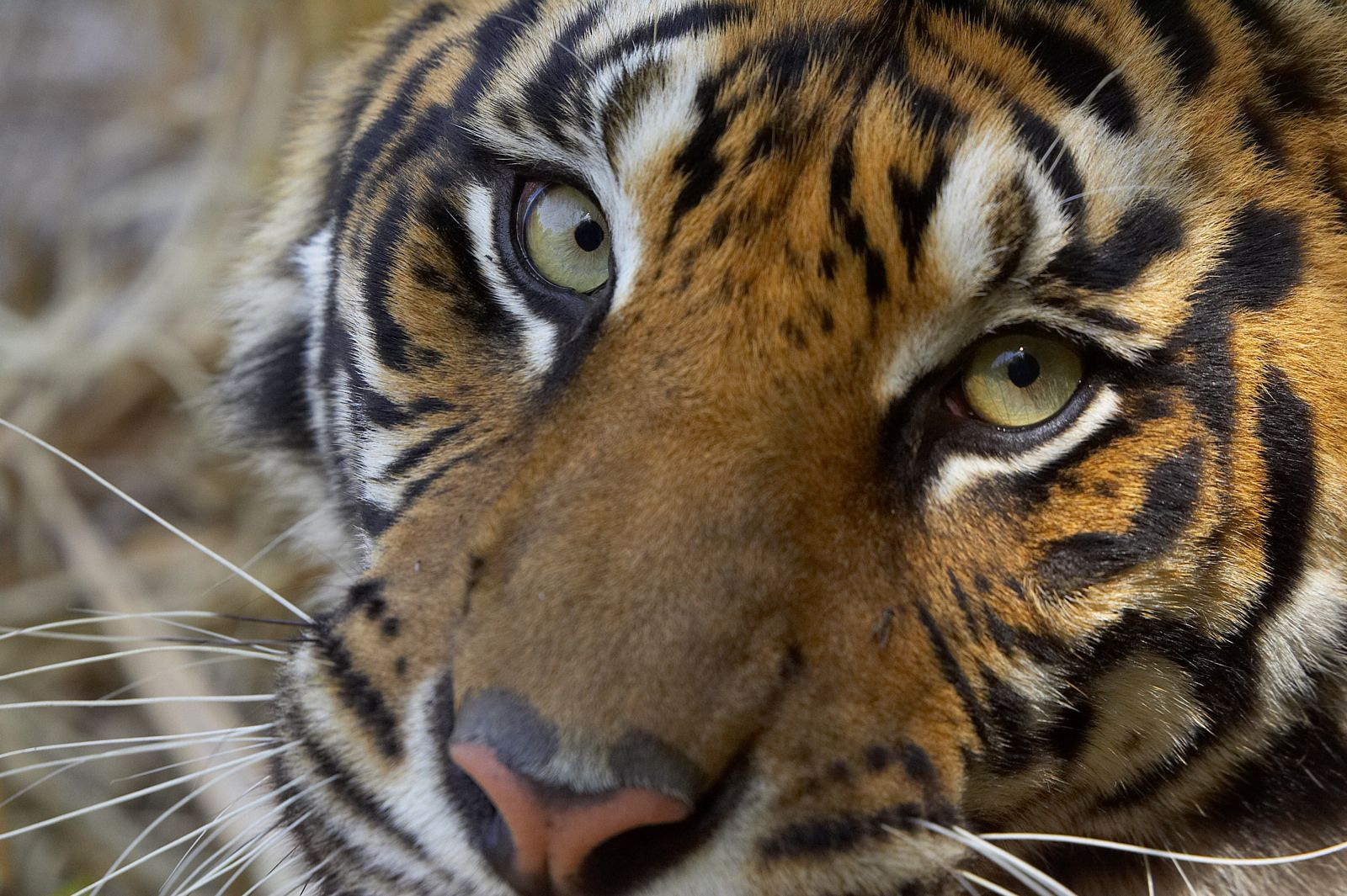 Eye Of The Tiger Pet Tiger Tiger Love Pretty Cats