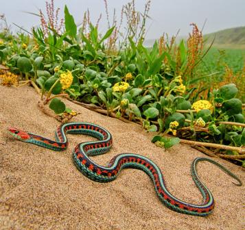 Letsgowild California Red Sided Garter Snake Thamnophis Sirtalis
