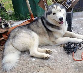 Lost Houston Texas 12 25 14 Male Black White Siberian Husky